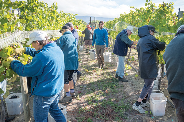 Workers Harvesting Grapes at Wooing Tree Vineyard